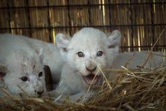 Biali lwów lisiątka urodzeni przy zoo Zdjęcia Royalty Free