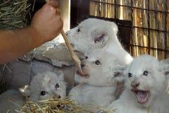Biali lwów lisiątka urodzeni przy zoo Fotografia Stock