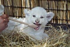 Biali lwów lisiątka urodzeni przy zoo Obraz Royalty Free