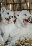 Biali lwów lisiątka urodzeni przy zoo Obrazy Royalty Free