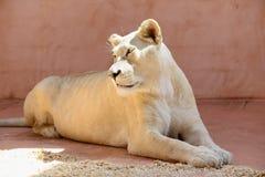 Biali lwic zwierzęta Zdjęcie Stock