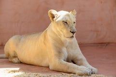 Biali lwic zwierzęta Zdjęcia Royalty Free