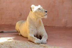 Biali lwic zwierzęta Fotografia Royalty Free