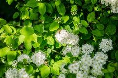 Biali mali kwiaty kwitną w wiośnie na gałąź obraz stock