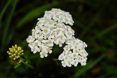 Biali mali kwiaty fotografia royalty free