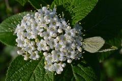 Biali mali kwiaty w kropelkach rosa Zdjęcie Stock