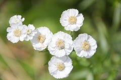 Biali mali kwiaty w postaci samolotu na zielonym tle Zdjęcie Royalty Free