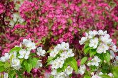 Biali Malus Micromalus kwiaty Fotografia Royalty Free