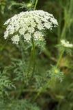 Biali marchewka kwiaty obraz stock