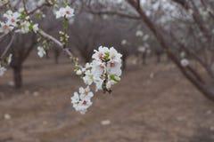 Biali Migdałowi drzewa kwitną Migdałowego sadu wiosny wczesnego kwitnienie Fotografia Stock