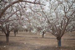 Biali Migdałowi drzewa kwitną w gaj wiosny wczesnym kwitnieniu Obrazy Royalty Free