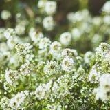 Biali miodowi kwiaty w lato ogródzie Zdjęcie Royalty Free