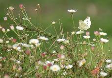 Biali Motyli kwiaty Obrazy Stock
