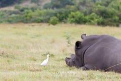 Biali nosorożec spojrzenia przy ja Zdjęcie Stock