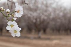 Biali okwitnięcia Migdałowego drzewa kwiaty skupiają się i Migdałowy gaj zamazujący tło Obraz Stock