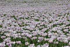 Biali opiumowi maczki obraz stock