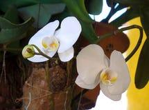 Biali Orchidaceae Phalaenopsis amabilis w ogródzie Obrazy Royalty Free