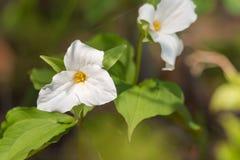 Biali płatki ampuła kwitnęli Białego Trillium Trillium grandiflorum Obraz Stock