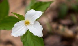 Biali płatki ampuła kwitnęli Białego Trillium Trillium grandiflorum Zdjęcia Royalty Free