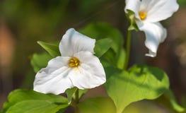 Biali płatki ampuła kwitnęli Białego Trillium Trillium grandiflorum Zdjęcie Royalty Free