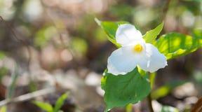 Biali płatki ampuła kwitnęli Białego Trillium Trillium grandiflorum Fotografia Royalty Free