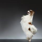 Biali Papillon psa stojaki na Tylnych łapach i Podnoszą up zdjęcia stock