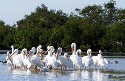 Biali pelikany Zdjęcie Royalty Free