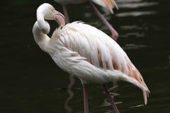 Biali pelikany przy krawędzią stawowy, patrzeje w dół, dnia zmroku tło obrazy royalty free