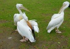 Biali pelikany w St James parku, Londyn, Anglia Fotografia Stock
