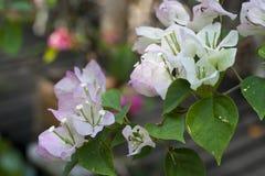Biali piękni okwitnięcia Bougainvillea kwiat z zielonymi liśćmi zbliżenie miękkie tło Fotografia Stock