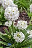 Biali pierwiosnku Primula denticulata albumy Zdjęcia Royalty Free