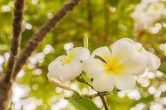 biali Plumeria lub Frangipani kwiaty Zdjęcie Stock