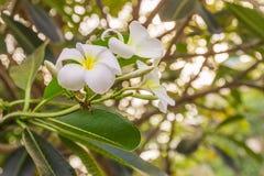 biali Plumeria lub Frangipani kwiaty Zdjęcia Royalty Free