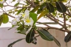 biali Plumeria lub Frangipani kwiaty Obraz Stock