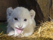 Biali południe - afrykański lwa lisiątko Obrazy Stock