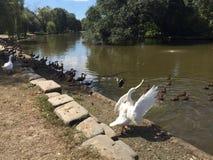 Biali ptasi łopotań skrzydła fotografia stock