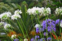 Biali purpurowi agapantów kwiaty w Nowa Zelandia ogródzie Fotografia Royalty Free