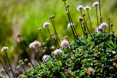 Biali puszyści Wildflowers Zdjęcia Stock
