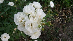 Biali rosess Fotografia Royalty Free