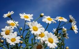 Biali rumianki na niebieskiego nieba tle Obrazy Stock