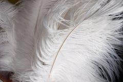 Biali strusiów piórka zdjęcie royalty free