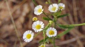 Biali Teksas Wildflowers z Brown roślinnością zdjęcia royalty free