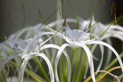 Biali tropikalni kultywujący kwiaty z długimi płatkami zdjęcia royalty free