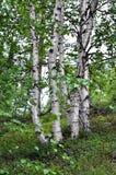 Biali trzony brzozy w lasowej północy chmurzą letniego dzień Obraz Royalty Free