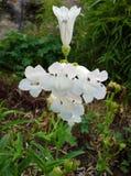 Biali Tubowi kwiaty Zdjęcie Stock