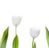 Biali tulipanów kwiaty Odizolowywający Zdjęcia Stock