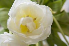 Biali tulipanowi makro- zieleń liście zdjęcie royalty free