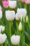 Biali tulipany Fotografia Stock