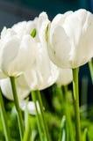 Biali tulipany Obrazy Stock