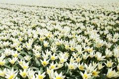 Biali tulipany Zdjęcia Royalty Free